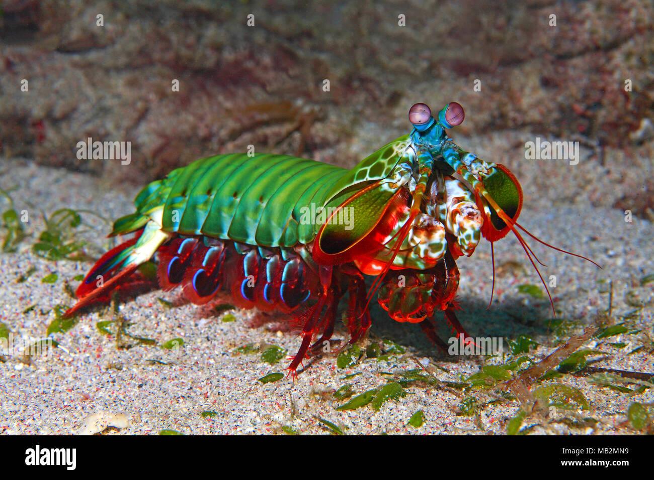 Clown mantis shrimp (Odontodactylus scyllarus), Sabang beach, Mindoro, Philippines, Asia - Stock Image
