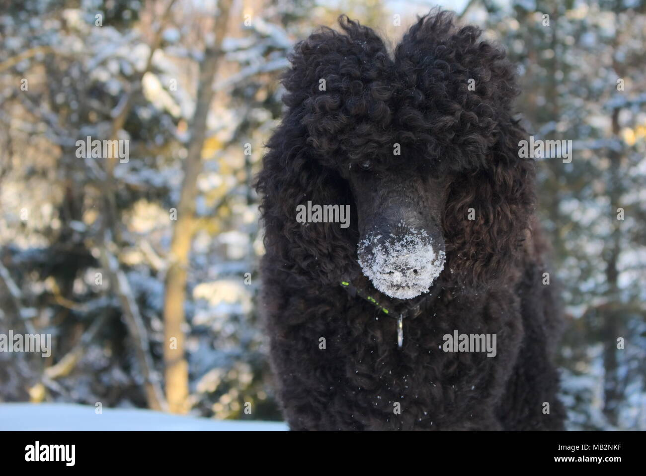 Mischievous Poodle - Stock Image