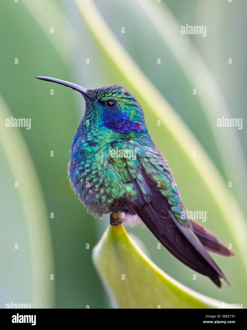 Lesser violet-ear hummingbird (Colibri cyanotus cabanidis) perched on green plant in tropical garden. - Stock Image