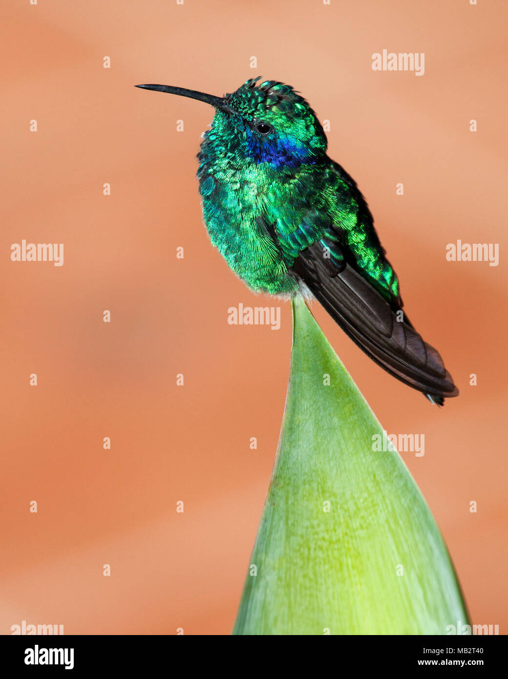 Lesser violet-ear hummingbird (Colibri cyanotus cabanidis) perched on green plant leaf in tropical garden. - Stock Image