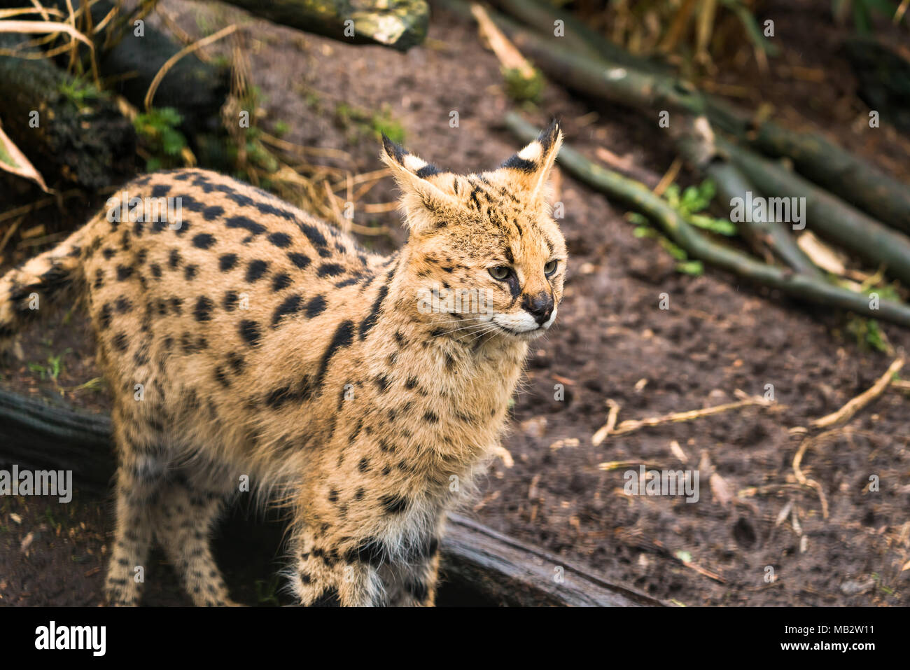 Serval (Leptailurus serval), a wild cat native to Africa - Stock Image