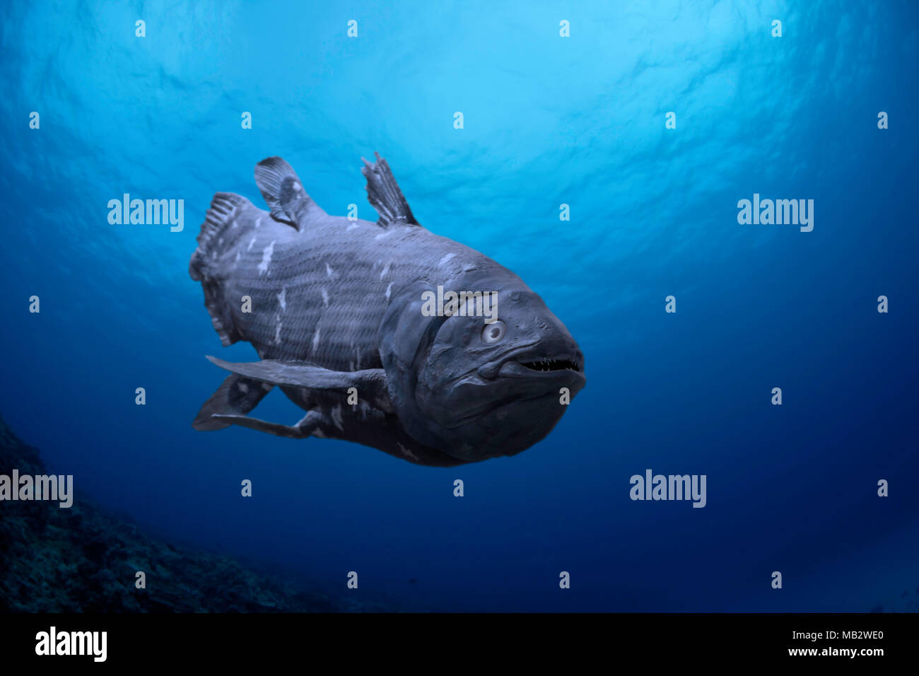 This is a digital illustration of a fish that was believed to have become extinct during the Cretaceous Period.  Specimens of Coelacanths, Latimeria c - Stock Image