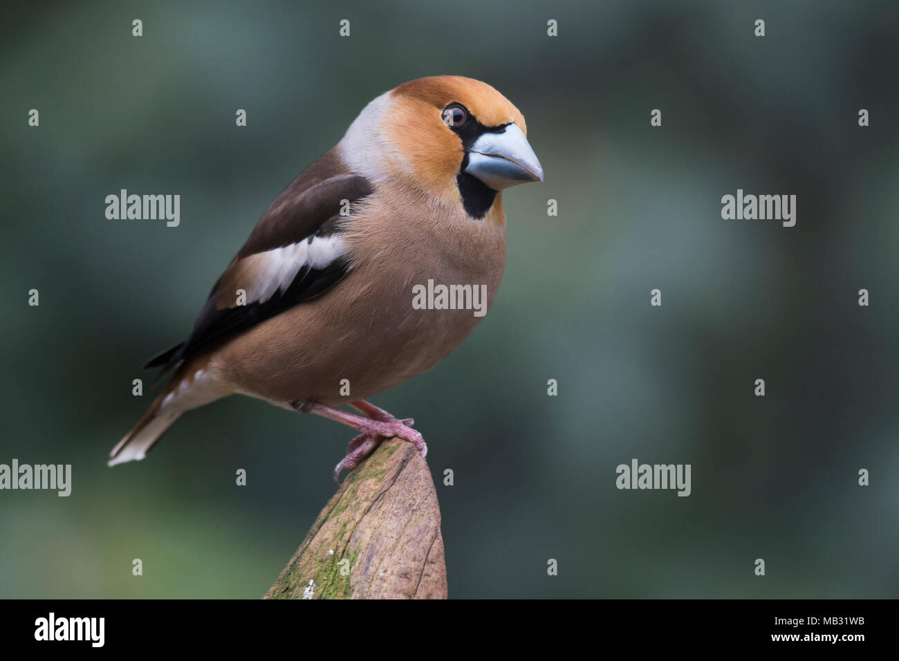 Hawfinch (Coccothraustes coccothraustes) sits on Totholz, Emsland, Lower Saxony, Germany - Stock Image