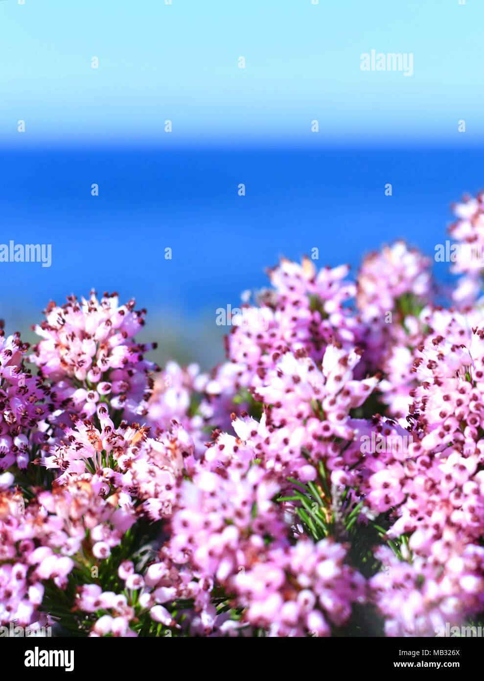 Pink heather or erica flowers, closeup shot of blooming heather and ...