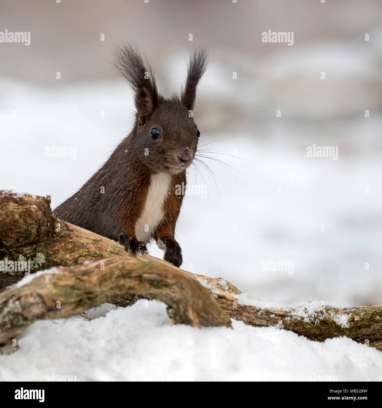 Eurasian red squirrel (Sciurus vulgaris) on the ground in the snow, Tyrol, Austria - Stock Image