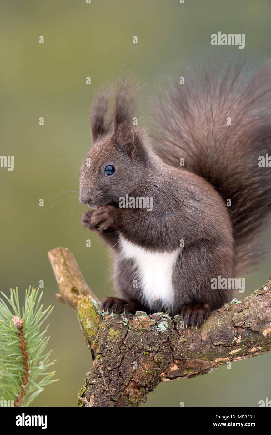 Eurasian red squirrel (Sciurus vulgaris) sits on branch of Pine (Pinus) and eats nut, Tyrol, Austria - Stock Image