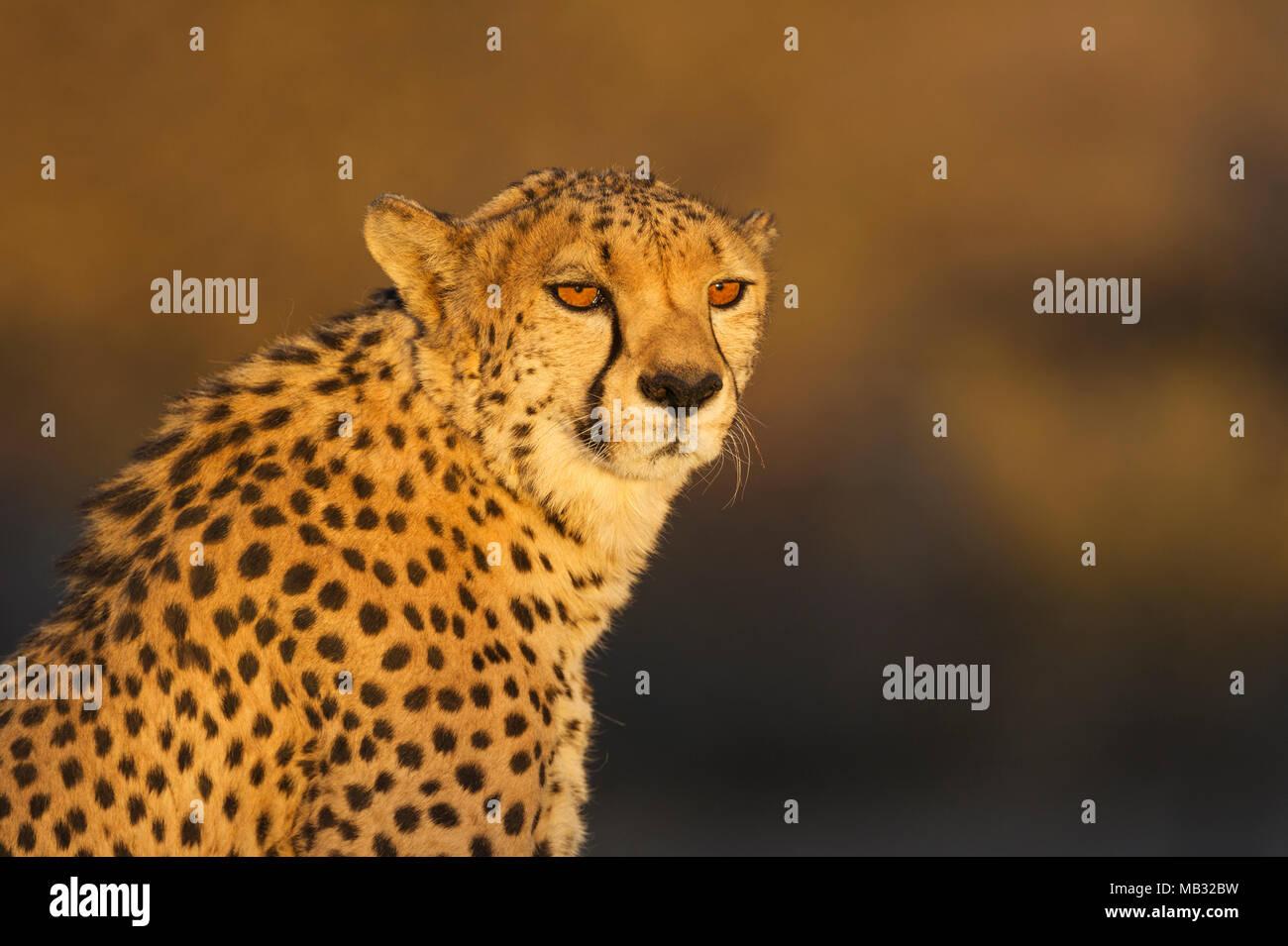 Cheetah (Acinonyx jubatus), male, animal portrait, in the evening light, captive, Namibia - Stock Image