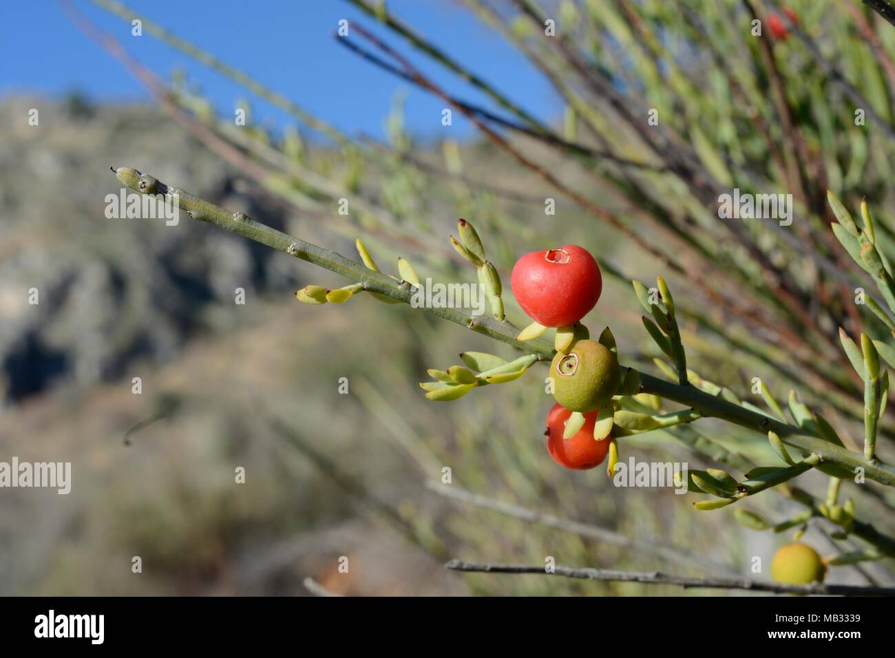 Poet's cassia / Osyris (Osyris alba) bush, a plant in the mistletoe family semi-parasitic on the roots of other species, with red berries, Greece. - Stock Image