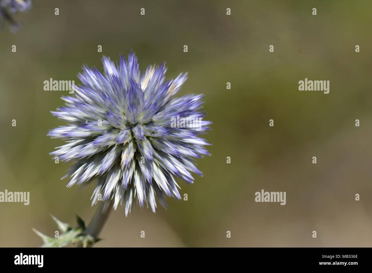 Spiny globe thistle (Echinops spinosissimus) in limestone mountains, near Kosmas, Arcadia, Peloponnese, Greece, August. - Stock Image