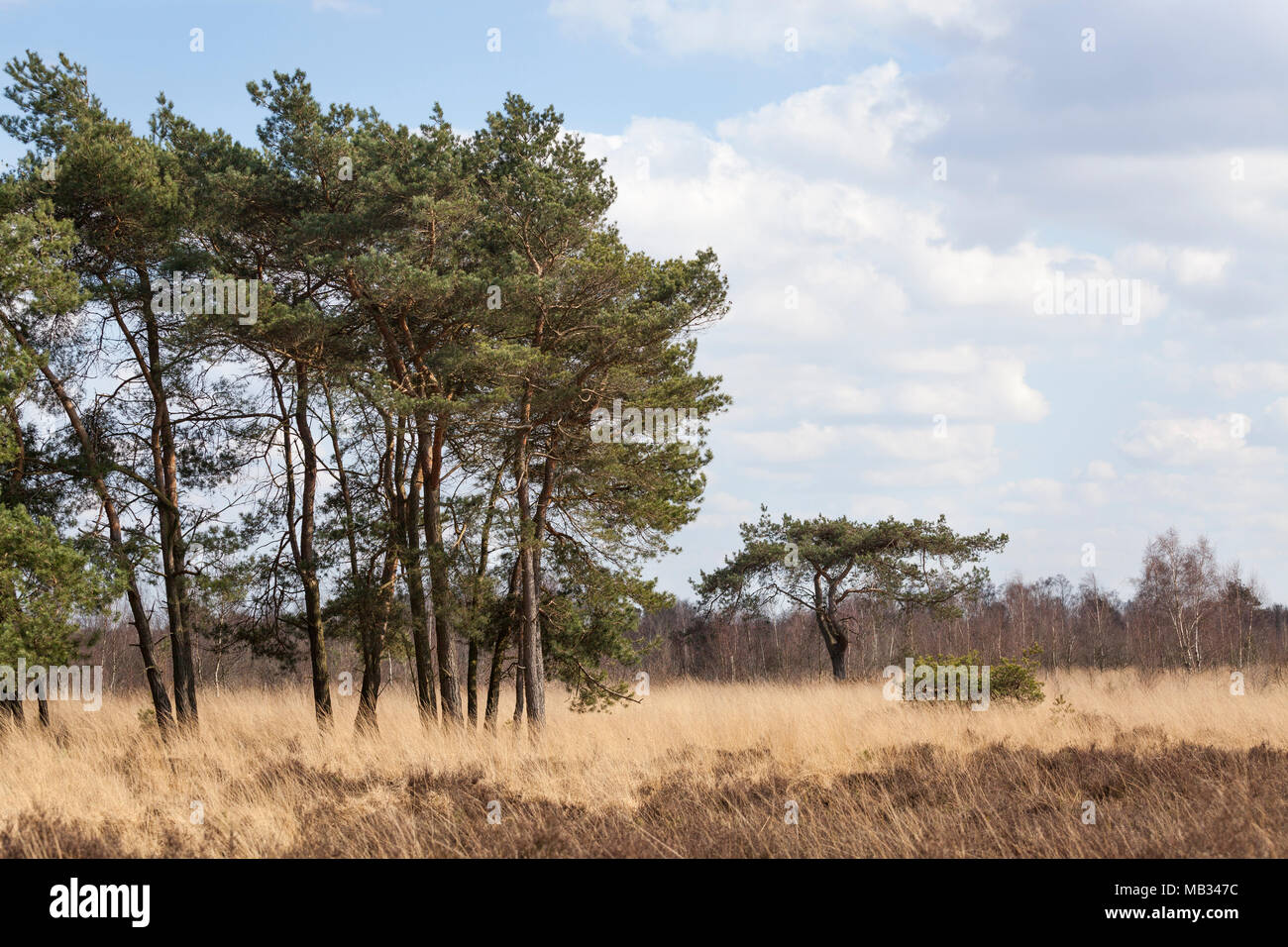 Landscape with spruce trees and grass at national park 'de Groote Peel' in the Netherlands - Stock Image