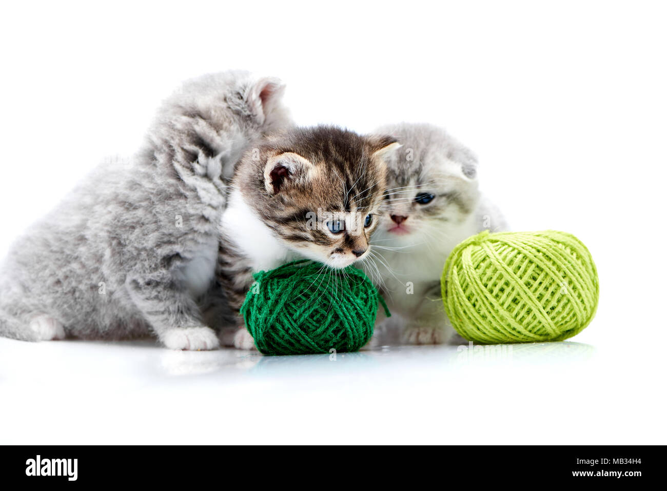 Grey fluffy cute kitties and one brown striped adorable kitten are playing with green yarn balls in white photo studio. Wool gray funny amusing playful curious funny cats happiness exploring - Stock Image