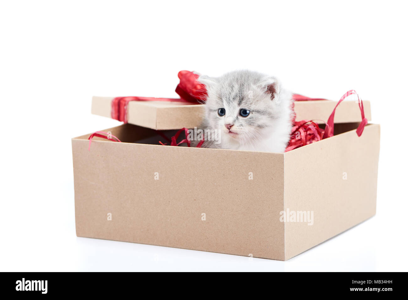 Little grey fluffy cute kitten sitting inside cardboard box with red birthday box on top being present for special occasion. Small adorable charming playful cat valentine day curious happiness Stock Photo