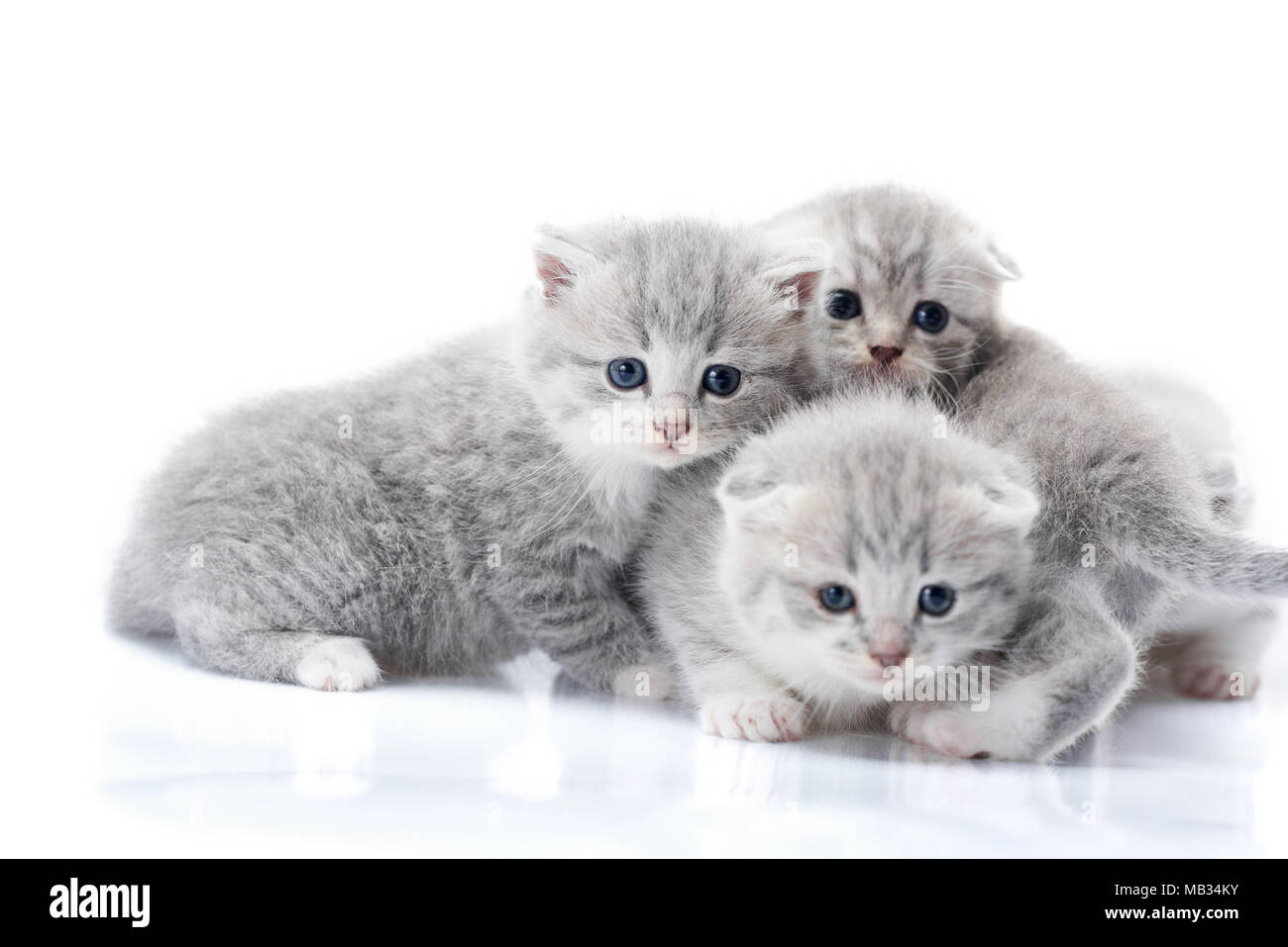 Newborn grey fluffy kittens looking to the camera while playing together and exploring the world around them. Studio photoshoot. Photoset gray cute adorable funny cats love happiness - Stock Image