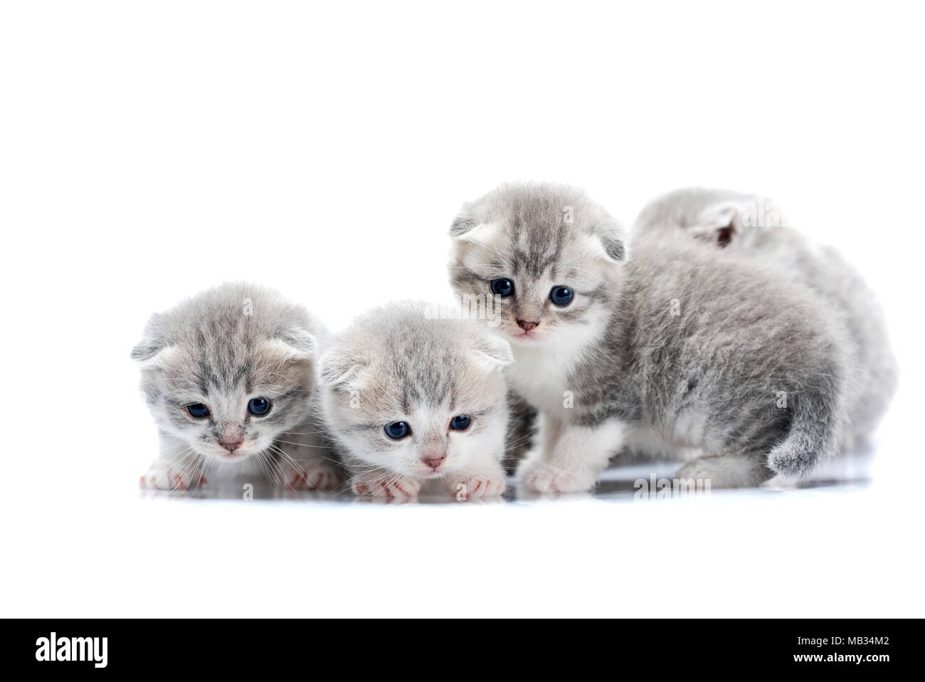 Small newborn cute kittens being curious and anxious while exploring world around them on photoset in white studio. Gray cute adorable fluffy cats playing blue eyes paws fur happiness - Stock Image