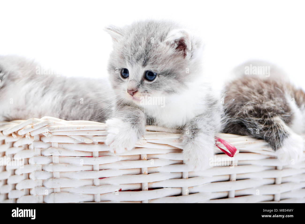 Small Grey Fluffy Adorable Kitten Being Curious And Looking To The Side While Others Playing Together In White Wicker Basket While Posing In White Photo