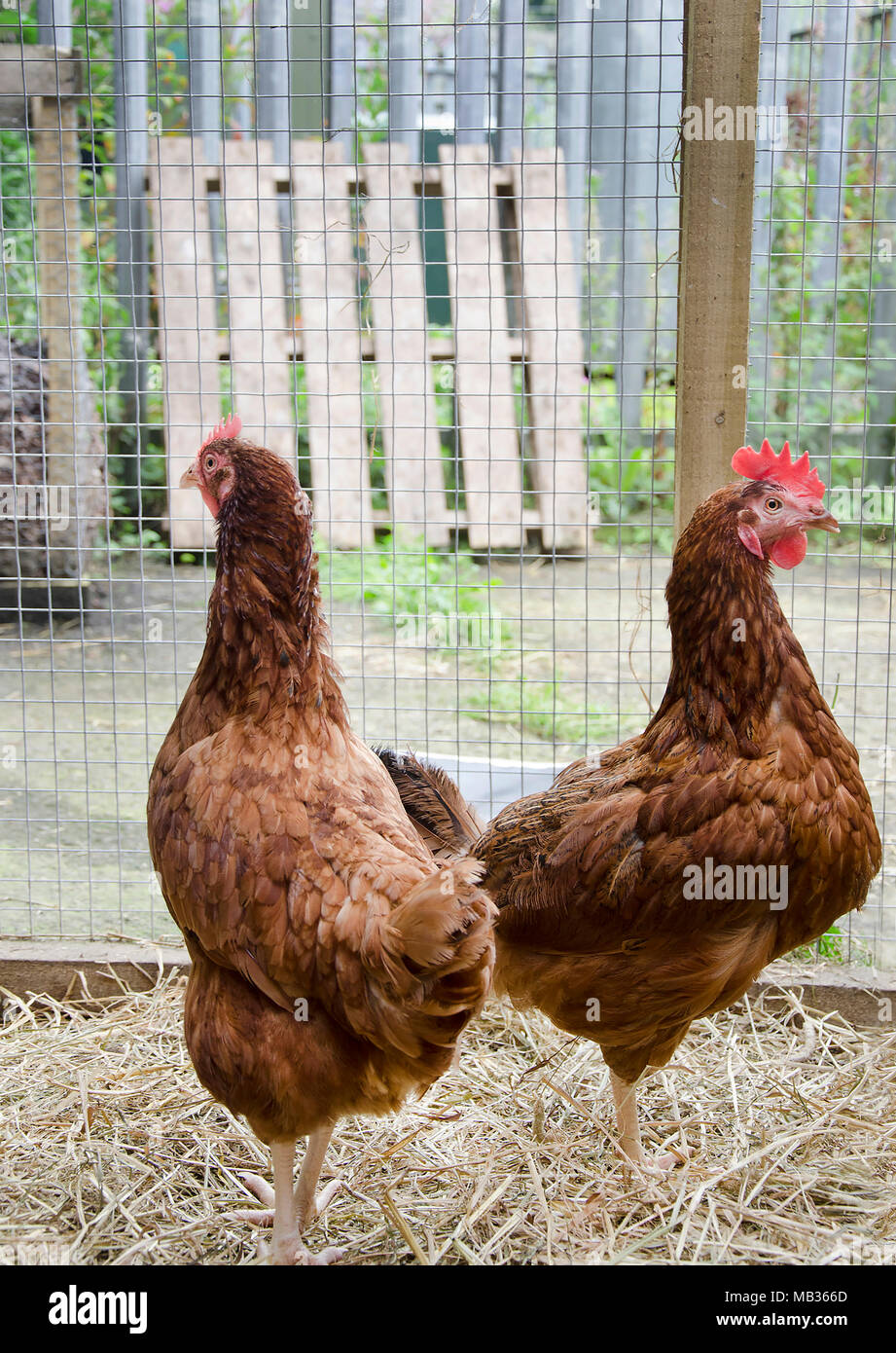 GLASGOW, SCOTLAND - AUGUST 23 2013: Two ISA Brown hens standing next to each other. - Stock Image
