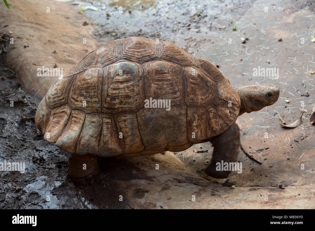 Leopard tortoise, Stigmochelys pardalis, Testudinidae, Kenya, Africa Stock Photo