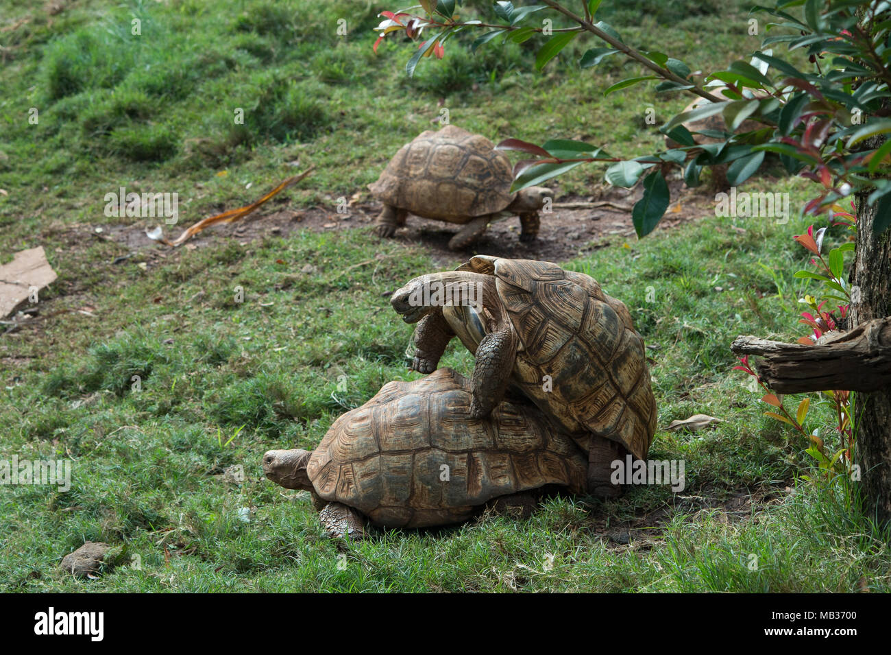 Leopard tortoise, Stigmochelys pardalis, Testudinidae, Kenya, Africa - Stock Image