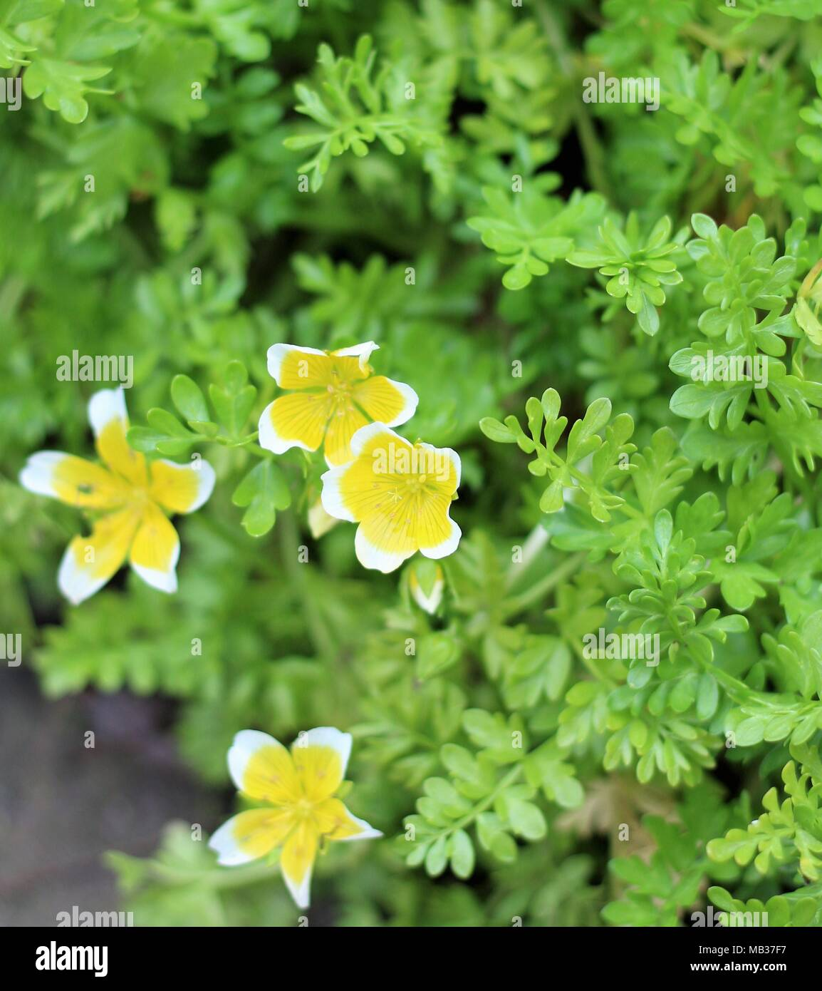 Cluster of Limnanthes douglasii, Douglas Meadowfoam plant. Fragrant, yellow-centre white flowers appear from summer through to spring. Suffolk, UK. - Stock Image