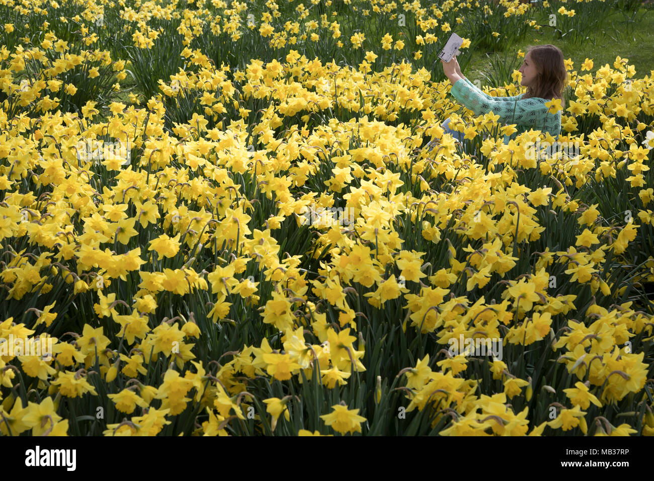 Young Woman Takes A Selfie Of Herself Amongst Springtime Daffodils
