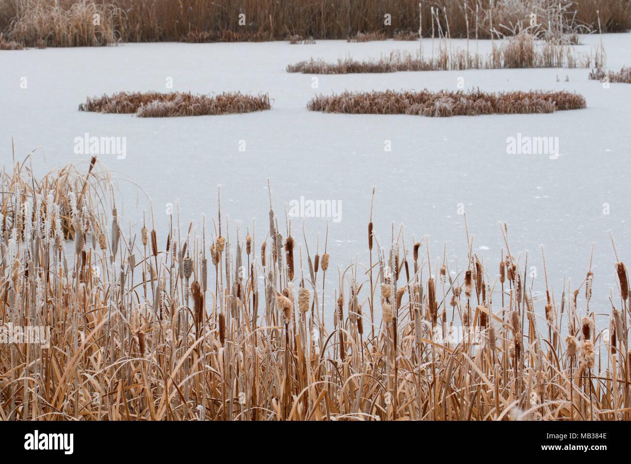 Visitor Center pond cattails with ice, Bear River Migratory Bird Refuge, Utah - Stock Image