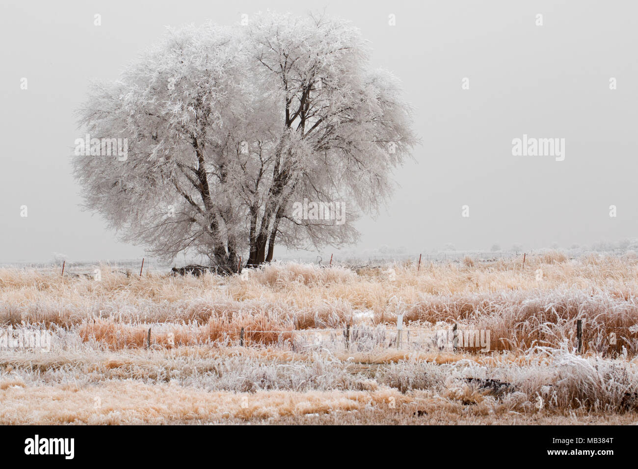 Tree in wetland with frost, Bear River Migratory Bird Refuge, Utah - Stock Image