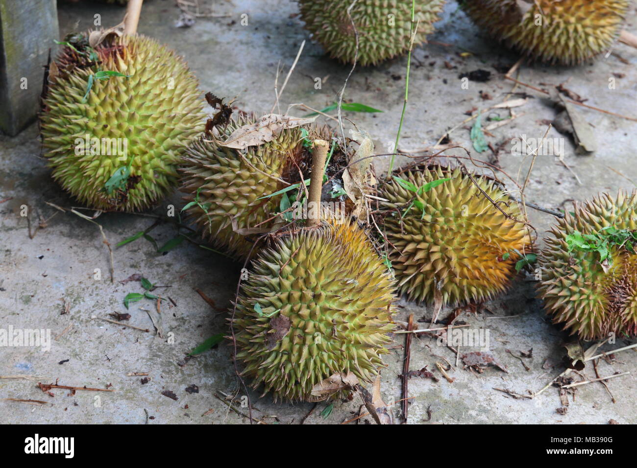 Ripened durian in fruit garden underbrush. Falled from the durian tree. Really for pick up and eat. - Stock Image