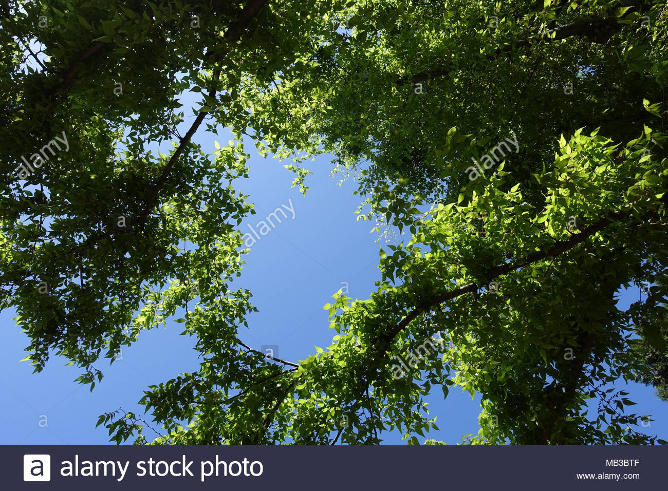 Looking Upward at Trees against a Blue Sky in Springtime Stock Photo