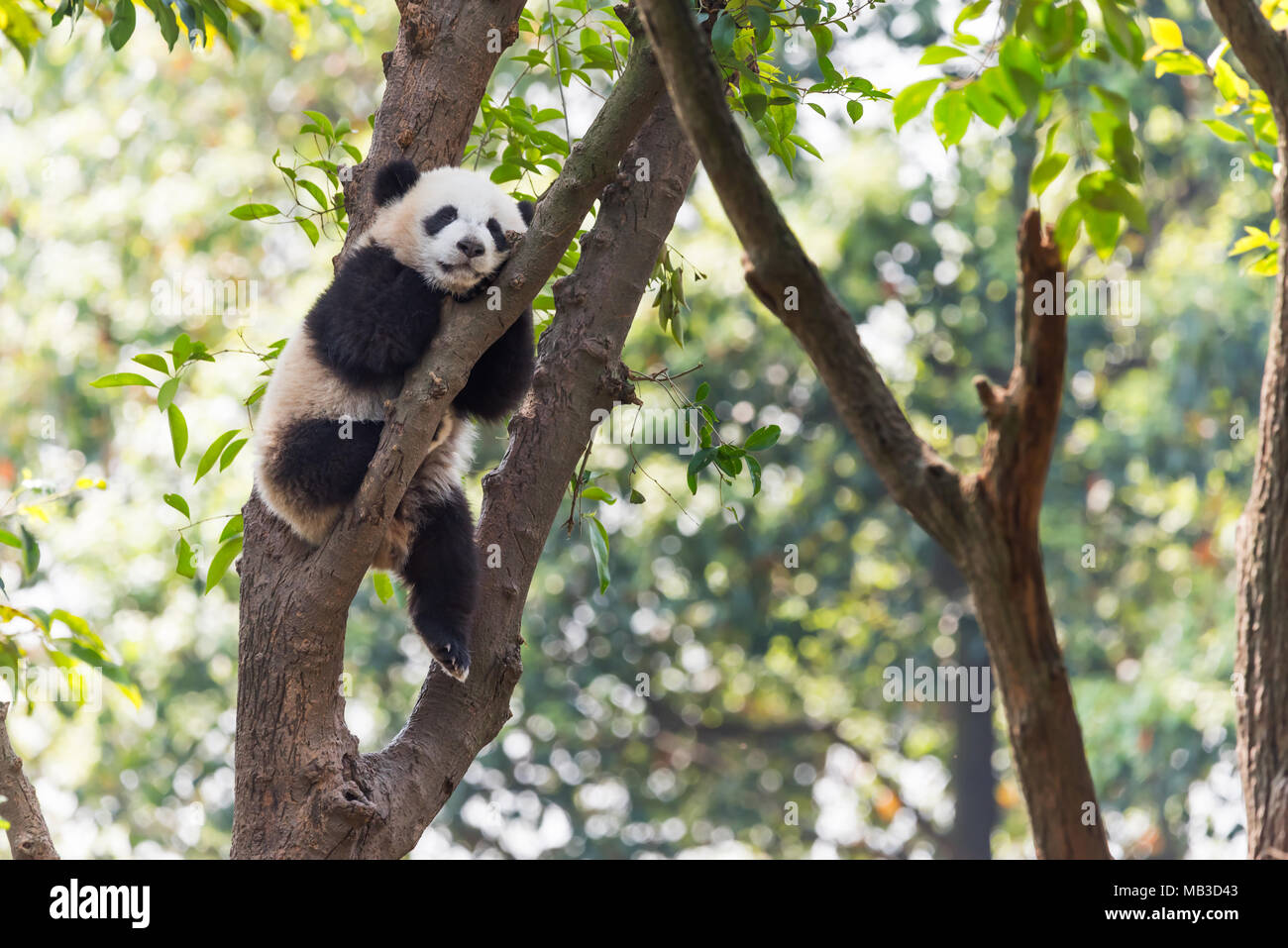 Panda cub sleeping in a tree, Chengdu, China Stock Photo