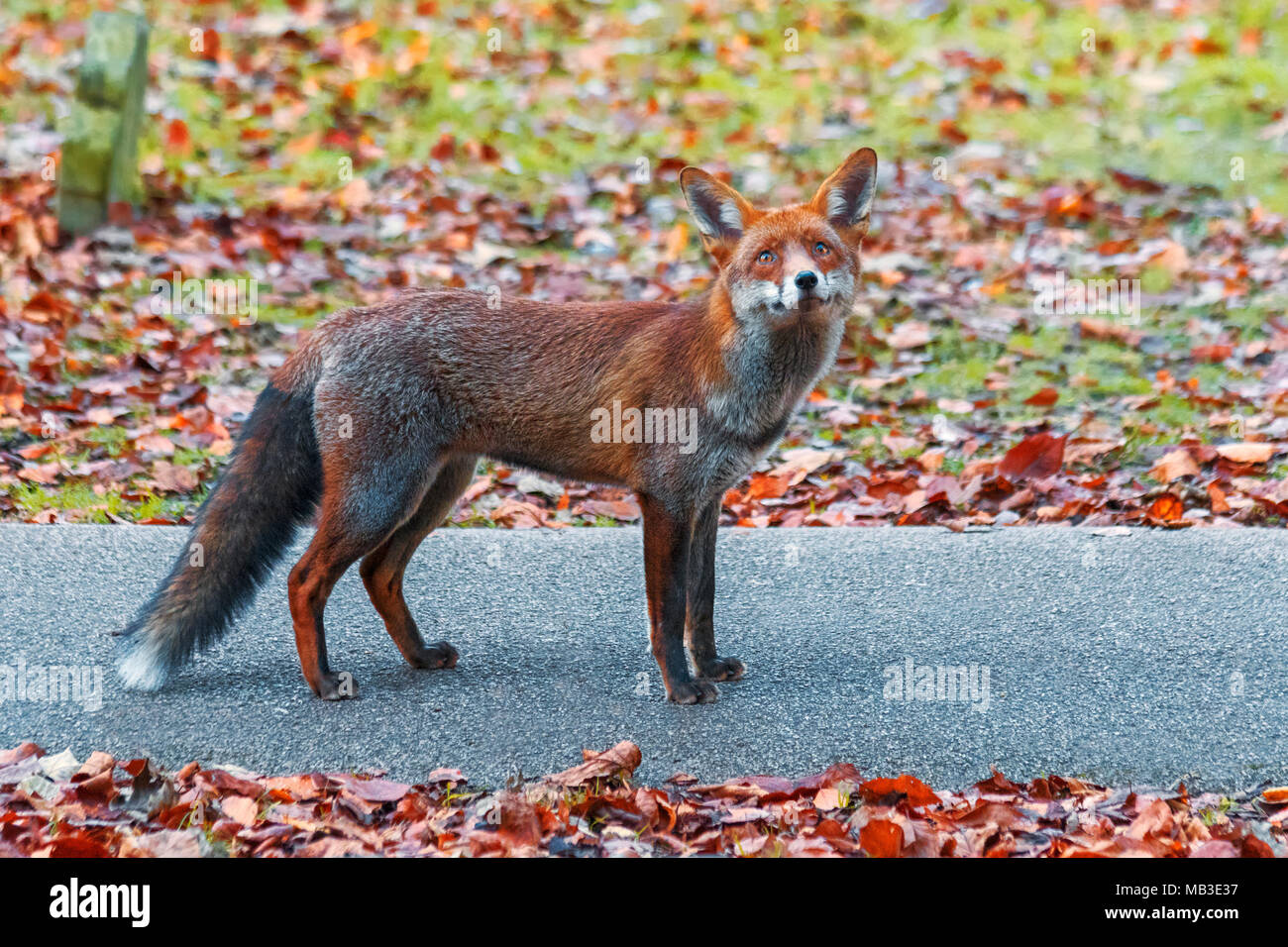 Portrait of urban European red fox, Vulpes vulpes crucigera,  photographed in Sutton, Greater London, UK - Stock Image
