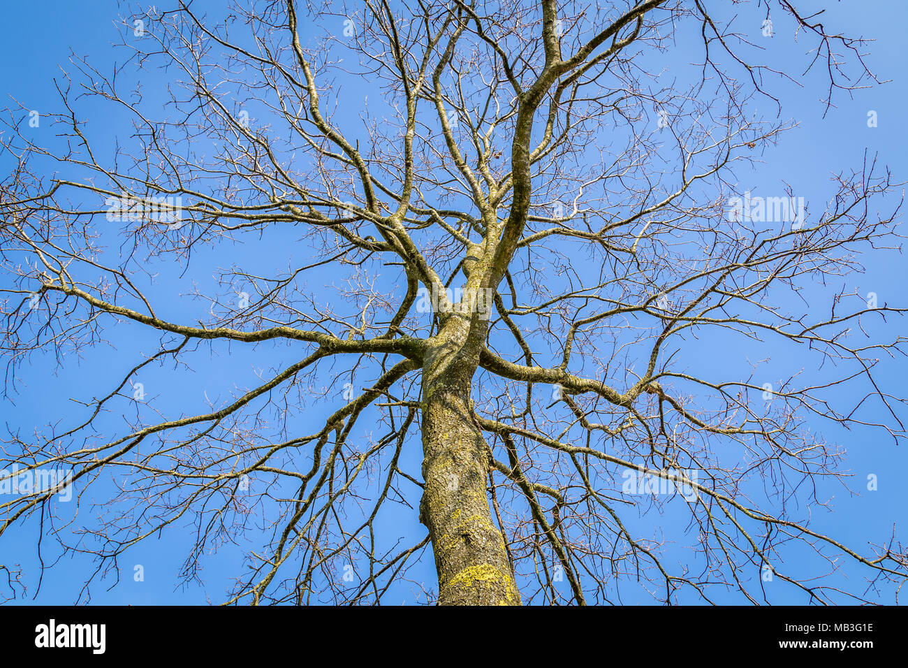 The complex structure of tre branches in front of a bluw sky as a metaphor form a complex social network - Stock Image