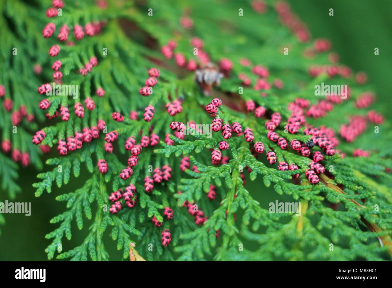 Chamaecyparis Lawsoniana - Pink tipped conifer - Stock Image