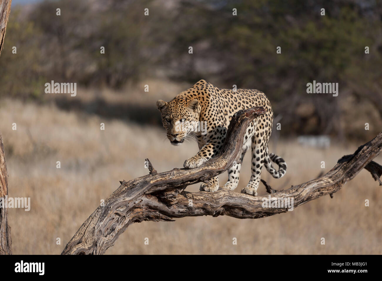 Leopard in Namibia Stock Photo