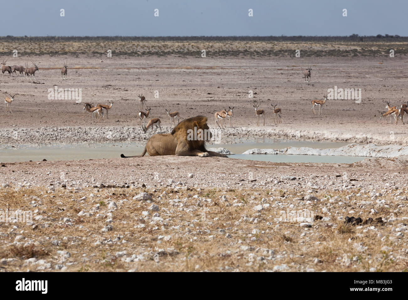 Lions in Etosha National Park, Namibia Stock Photo
