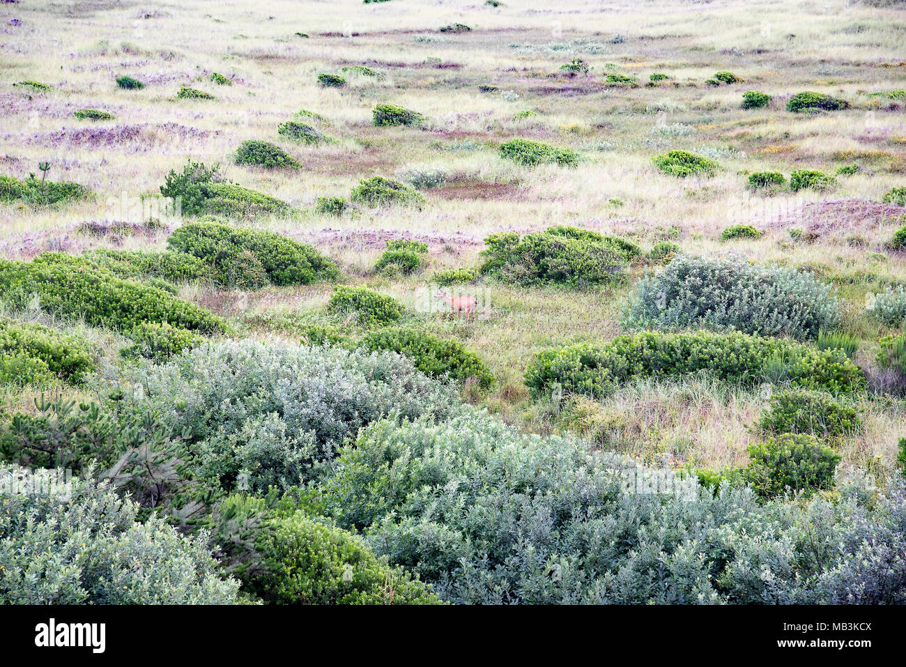 Photo taken early one morning from an Ocean Shores, Washington hotel room of a deer grazing among the grasses lining the shoreline. - Stock Image
