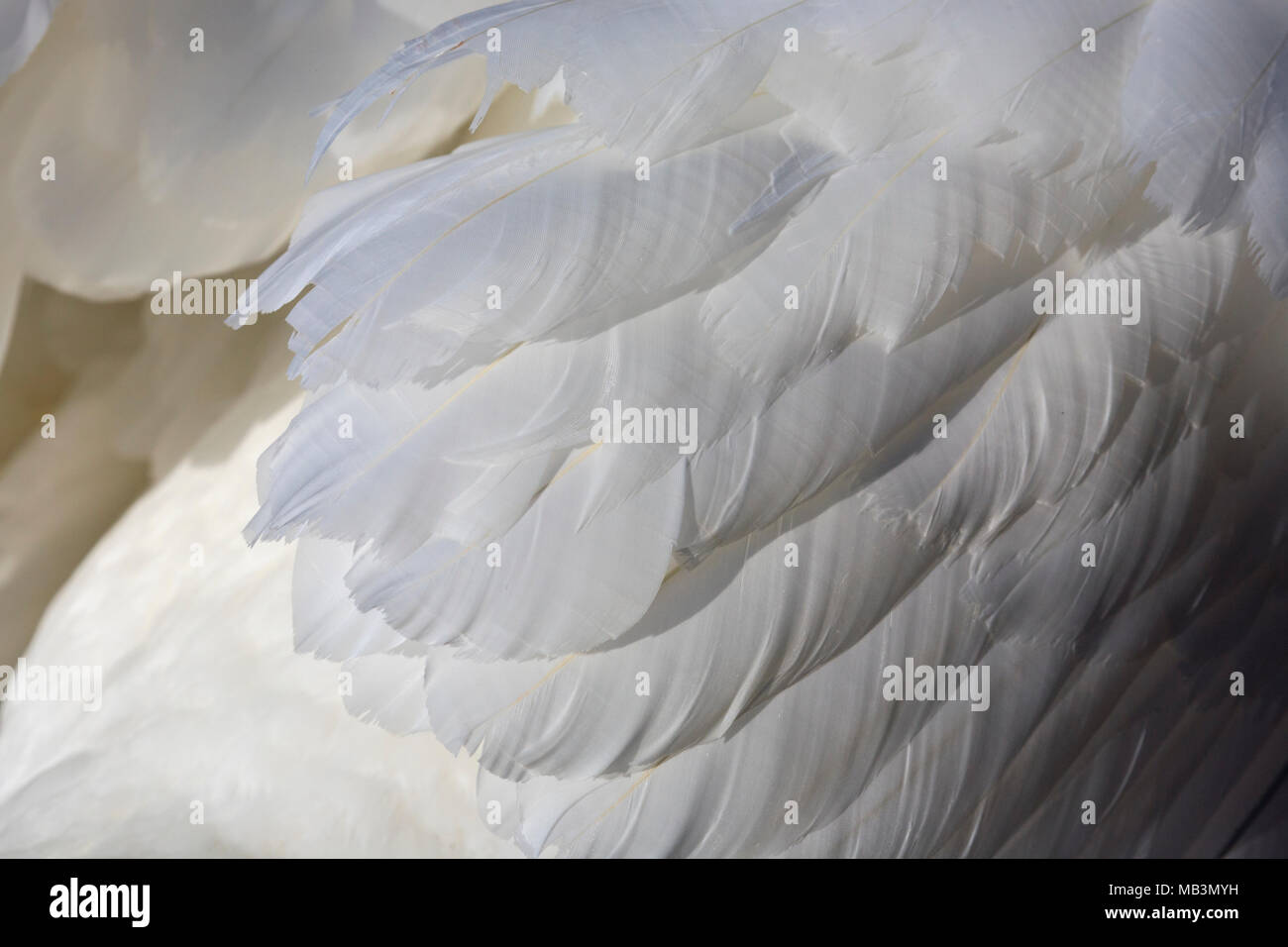 White Swan Feathers - Stock Image