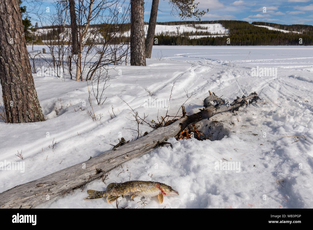 Dead pike and a campfire in the foreground in winter landscape and blue sky and mountain in background, picture from the Northern Sweden. - Stock Image