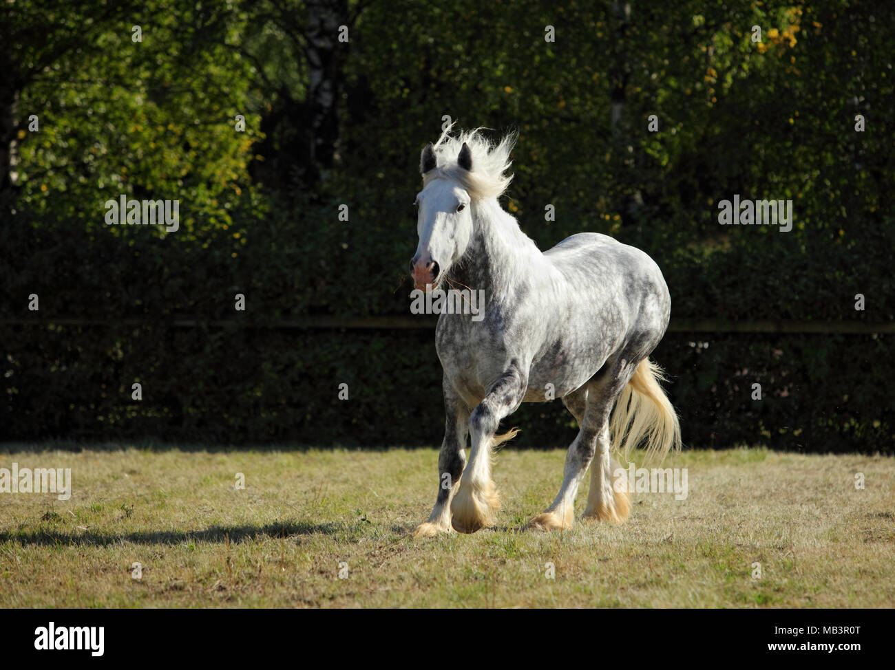 Dapple gray draft horse runs gallop on the meadow in evening down - Stock Image