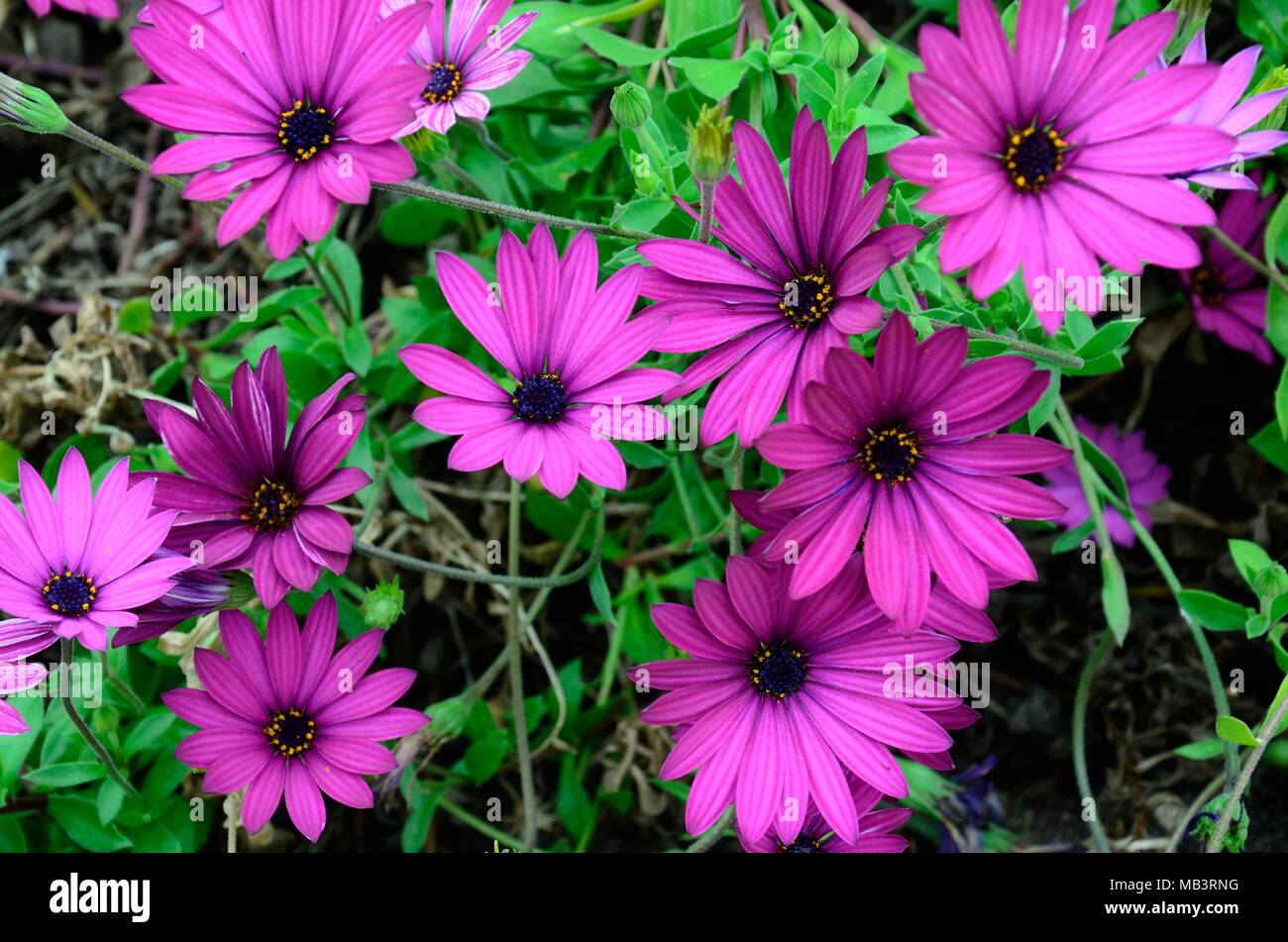 Purple daisy like flowers stock photos purple daisy like flowers osteospermum ecklonis african daisy cape marigold purple flowers stock image izmirmasajfo