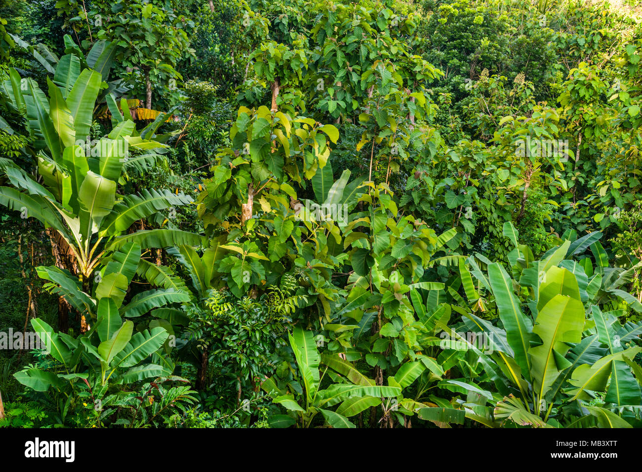 lush tropical vegetation at Bukit Barede near Borobudur, Central Java, Indonesia - Stock Image