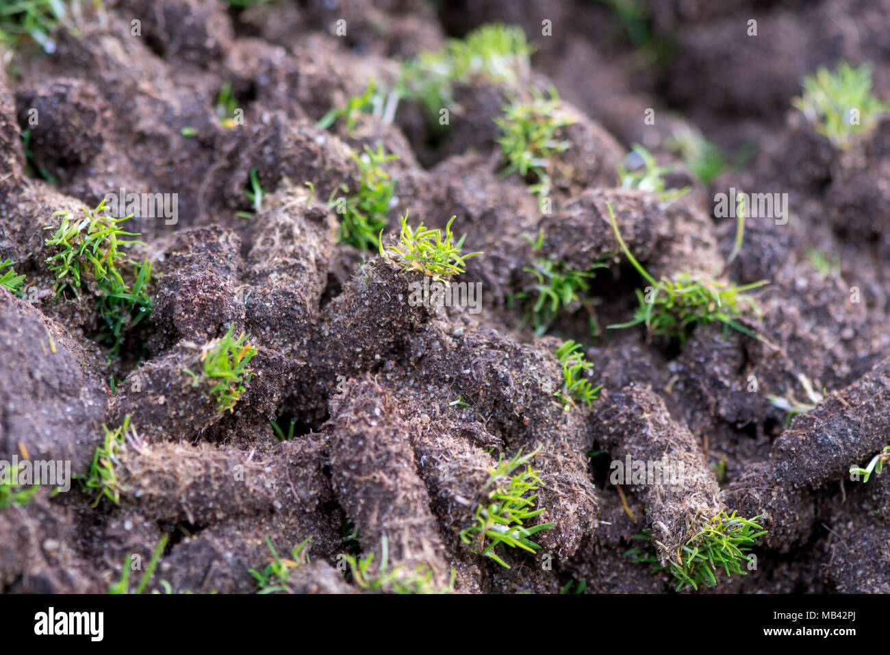 Pile of plugs of soil removed from golf course. Waste of core aeration technique used in the upkeep of lawns and turf - Stock Image