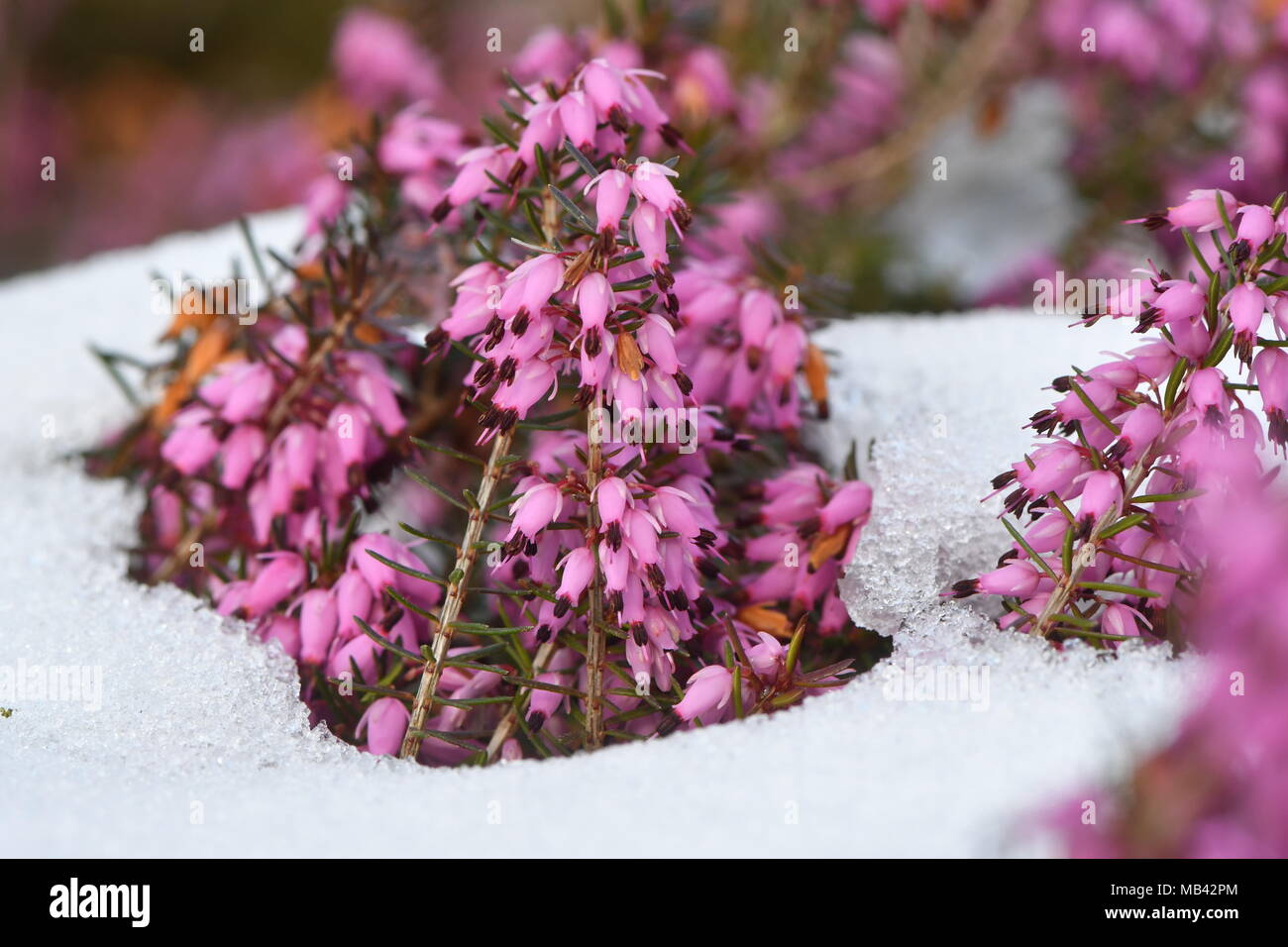 Red heather (Erica sp.) flowering in the snow. A close-up of pink flowers of a common heather plant in the family Ericaceae - Stock Image