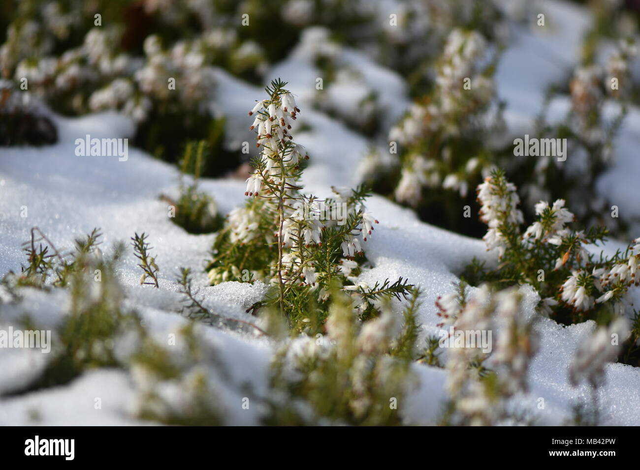 White heather (Erica sp.) flowering in the snow. White flowers of a common heather plant in the family Ericaceae - Stock Image