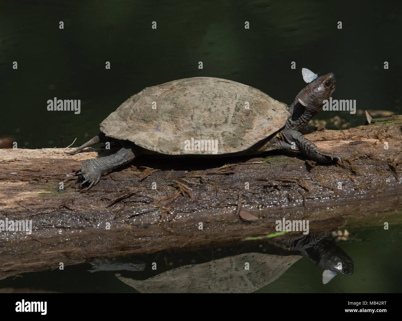 Oldham's leaf turtle (Cyclemys oldhamii ) is a species of turtle in the family Geoemydidae.Seen here in Kaeng Krachan National Park. - Stock Image