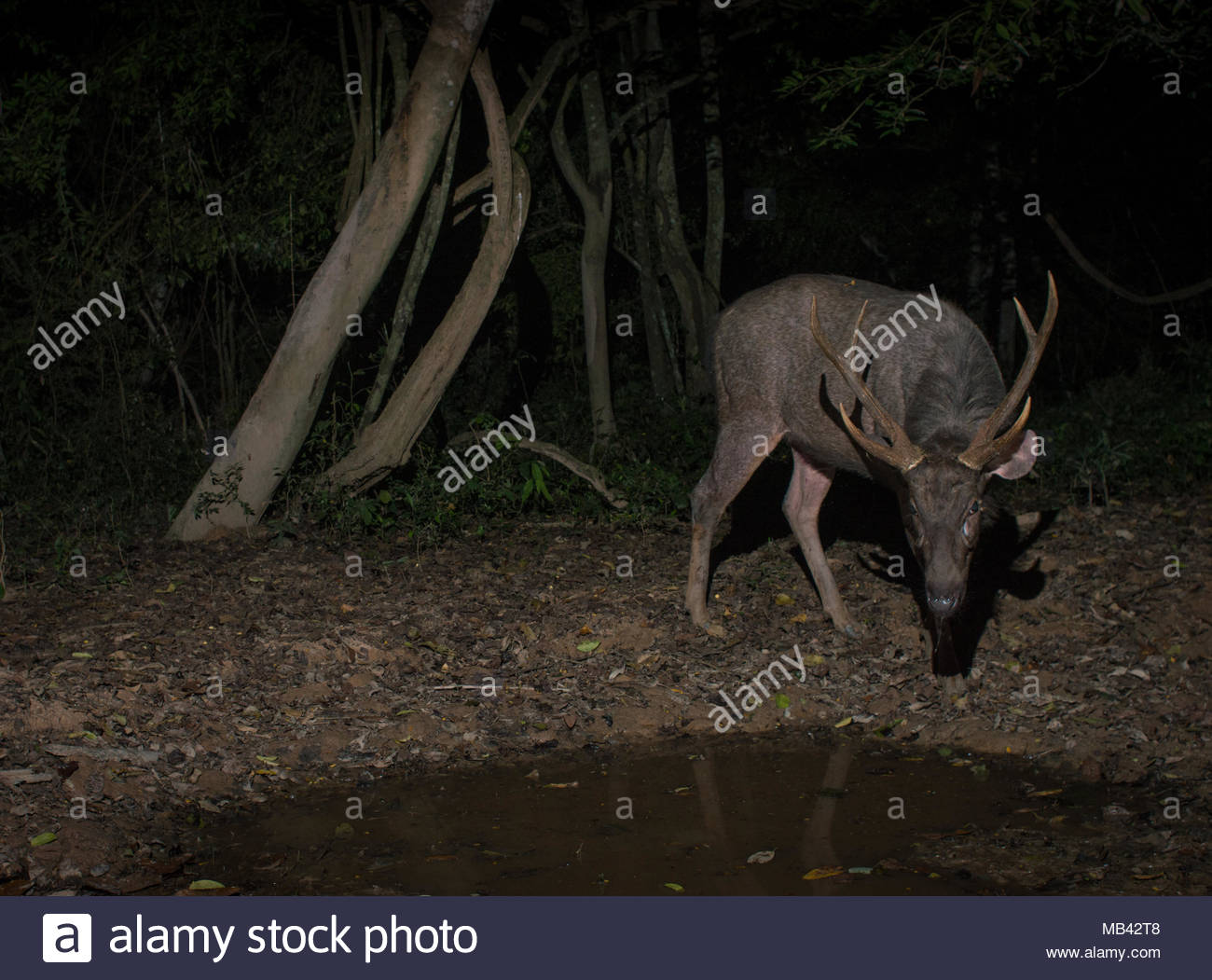 The sambar is a large deer native to the Indian subcontinent, southern China, and Southeast Asia that is listed as Vulnerable on the IUCN Red List - Stock Image