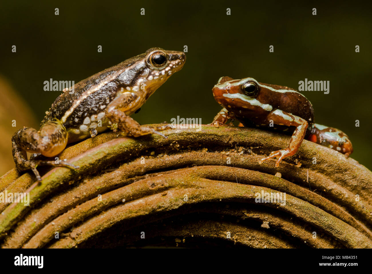 2 related poison frogs next to each other for comparison.  Anthony's poison frog (Epipedobates anthonyi) & a rocket frog (Hyloxalus infraguttatus). - Stock Image
