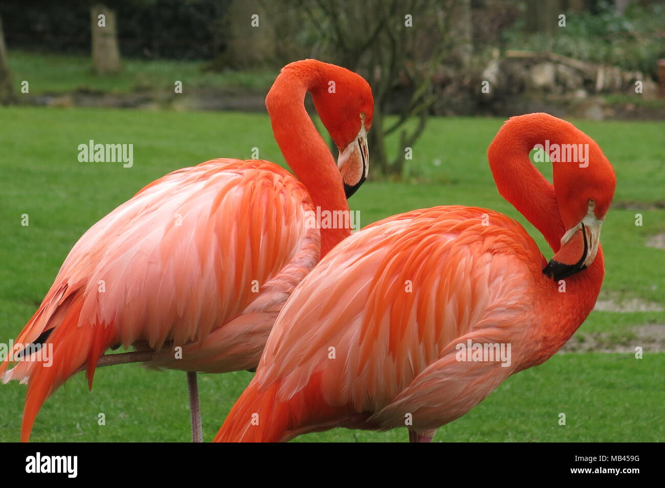 A pair of brightly coloured flamingos, whose orange plumage is very striking against the fresh green grass of spring time - Stock Image