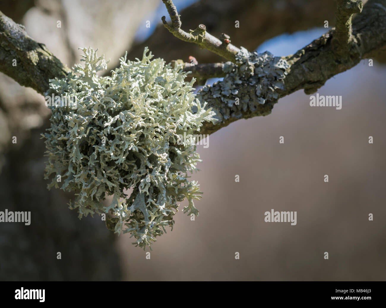 Evernia prunastri photographed on a Hawthorn tree in Wensleydale, Yorkshire. - Stock Image