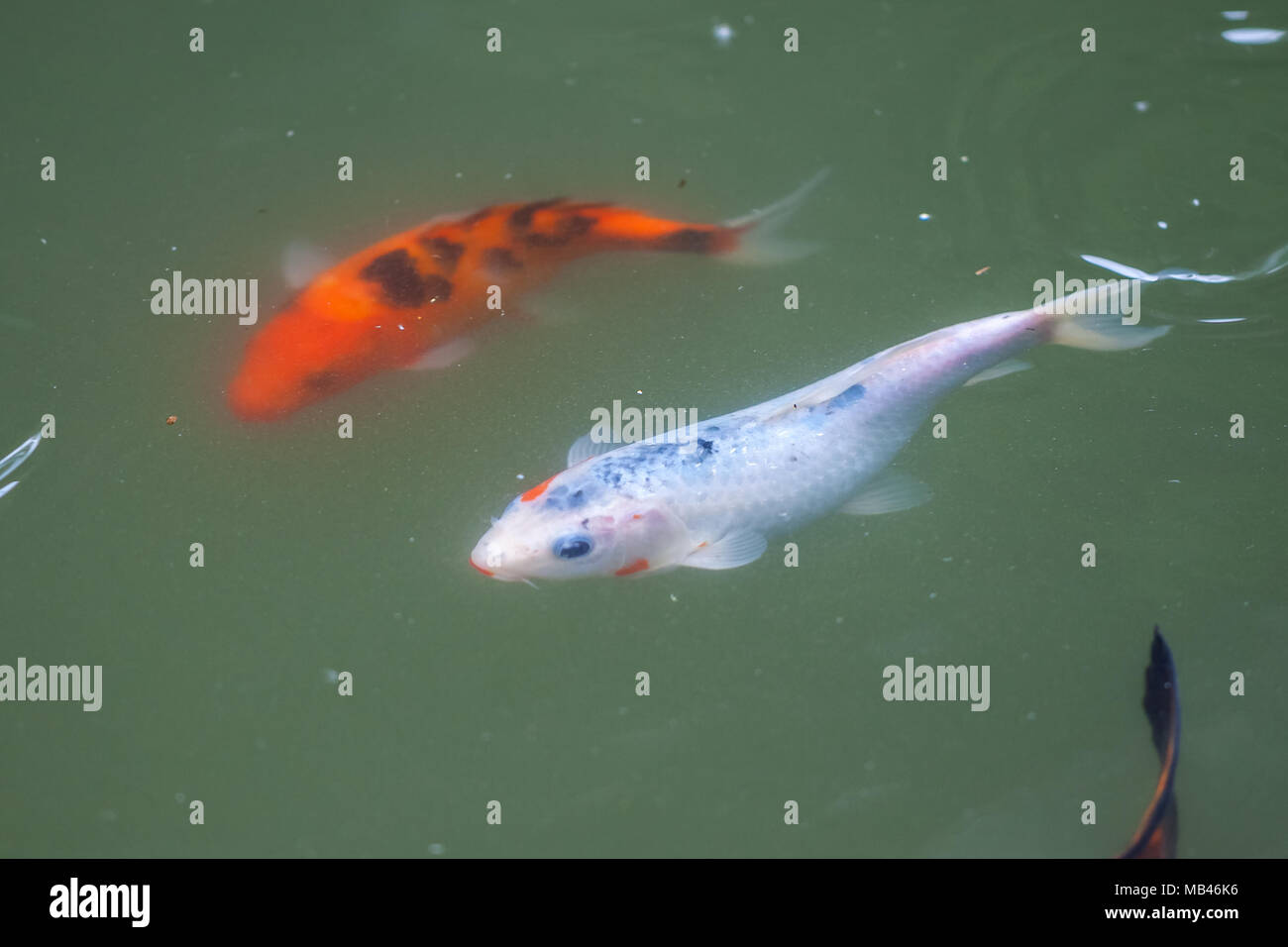 Japan fish call Carp or Koi fish colorful, Many fishes many color ...