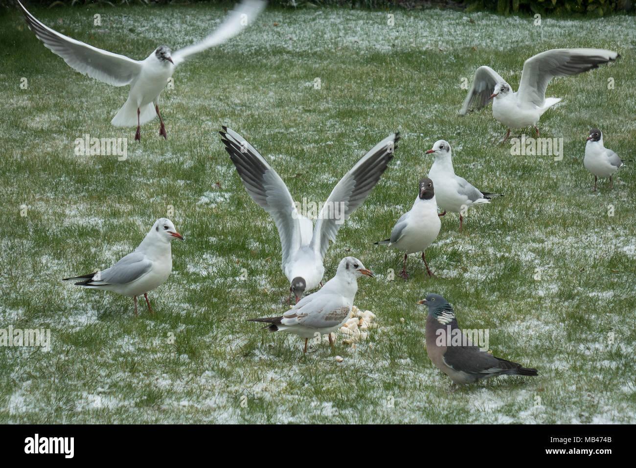 Birds feeding on snow covered ground Stock Photo
